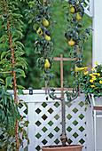 Birnenspalier auf dem Balkon