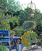 Solanum rantonnetii, Erigeron / Weißes Gänseblümchen,