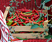 Harvested hot peppers (Capsicum)