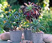 Succulente, Crassula arborenscens / Geldbaum, Aeonium