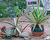 Agave americana, Yucca gloriosa 'Variegata'