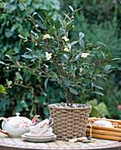 Camellia sinensis / Teestrauch