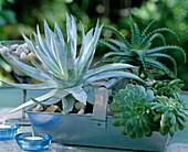 Blechkorb bepflanzt mit Sukkulenten : Aeonium, Agave filifera,