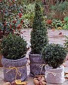 Buchsbaum zum Überwintern mit Ballenschutz, Töpfe mit Vlies und Noppenfolie umwi