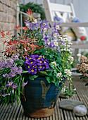 Ipheione, Pieris, Aquilegia caerulae 'Spring Magic Blau-Weiß',