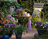 Schalen mit Pieris, Ipheione, Aquilegia 'Magic Spring',