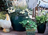'Frühlingsflirt' Leucanthemum hosmariense, Tiarella-Hybr.