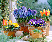 Tulipa 'Flair'/ Minitulpen, Oxalis / Klee, Primula / Kissenprimel,