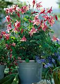 Aquilegia caerulea 'Spring Magic Rosa-Weiß'