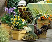 Aquilegia caerulea 'Spring Magic' / Akelei, Narcissus lobularis,
