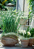 Hyacinthus orientalis weiß, Leucojum aestivum / Hohe Märzen-