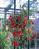 Begonia x tuberhybrida pendula (Knollenhängebegonie)