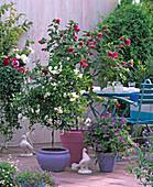 Solanum jasminoides, Abutilon / Schönmalve,