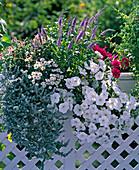 Veronica spicata, Helichrysum petiolare 'Silver mini', Petunia