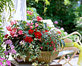 Begonia 'Dragon Wing Pink', Impatiens walleriana (rosa),