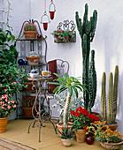 Von links: Echeveria, Trichocereus fulvianus, Euphorbia ingens,