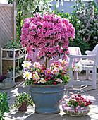 Azalea-Hybr. unterbepflanzt mit Bellis / Gänseblümchen,