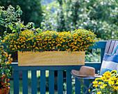 Tagetes tenuifolia / Studentenblume