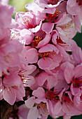 Prunus persica 'Amber var. Pixzee' / Zwergpfirsich Blüte