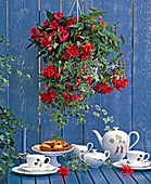 Begonia tuberhybrida 'Tenella Rose'
