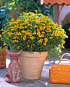 Tagetes tenuifolia 'Orange Gem'/ Studentenblume