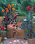 Südseeflair mit Canna indica 'Tropicana' (Indisches Blumenrohr)