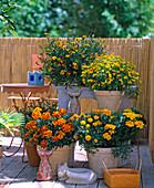 oben: Tagetes tenuifolia 'Orange Gem'