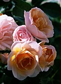 Rosa 'Bordure Nacreè' - niedrige Beetrose