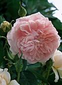 Rosa 'Kir Royal' - Kletterrose - ADR Rose