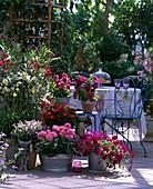 Terrasse mit Dahlietta-Hybr. (Dahlie), Petunia 'Supertunia Magenta', Petunia gra