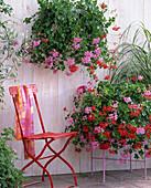 Wandgefäß mit Pelargonium peltatum 'Ville de Paris' und