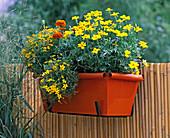 Kastenhalterung mit Blechkasten bepflanzt mit Tagetes patula