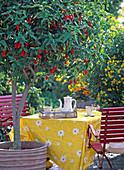 Malvaviscus arboreus (Beerenmalve)