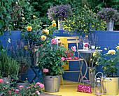 Rosa 'Golden Celebration' - Engl. Rose (gelb), 'Mary Rose' (rosa)