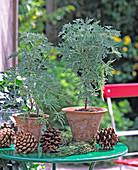 Pelargonium podenticulatum