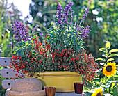 Salvia farinacea 'Victoria', Alonsoa meridionalis 'Scarlet'