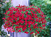 Calibrachoa 'Red Devil'