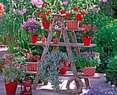 Pelargonium zonale 'Deep Scarlet', 'Exotica Happy Orange',