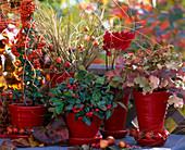 Herbst in Rot: Pyracantha 'Orange Charmer'/ Feuerdorn, Carex testacea / Herbstsegg