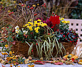 Chrysanthemum 'Improved Tedcha', Carex 'Evergold' / Buntsegge, Carex testacea / He