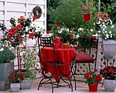 Balkon rot / weiß: Hibiscus, Argyranthemum frutescens / Margerite, Pelargonium