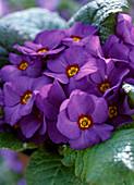Primula vulgaris 'Lippefreude Blau' / Frühlingsprimel, mehrjährig