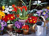 Primula acaulis / Frühlingsprimeln in gelb,rot,blau u. weiß,