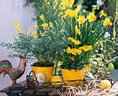 Narcissus 'Jetfire' / Narzisse, Cytisus / Ginster, Papaver nudicaule