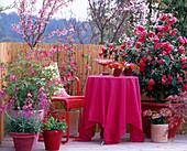 Camellia 'Flame' / Kamelie, Prunus incisa / Japanische Zier-