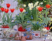 Tulipa 'Deschima' / Tulpen, Narcissus 'Minnow' / Narzissen,