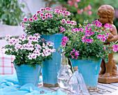Pelargonium Angeleyes 'Light', 'Randy', 'Viola' / Engelsgeranien