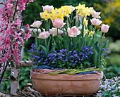 Tulipa 'Angelique' / Tulpen, Narcissus 'Pipit' / Narzissen,