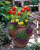 Tulipa 'Deshima' / Tulpen, Viola / Stiefmütterchen, Aubrieta