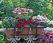 Argyranthemum 'Strawberry Pink' / Margerite, Torenia 'Blue &